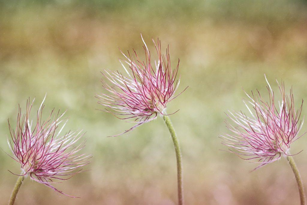 common-pasque-flower-1388102_1280